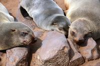 Zeeleeuw Cape Cross Namibië Djoser Family