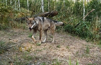 Wolf Wit-Rusland