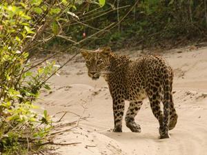 Yala nationaal park - luipaard