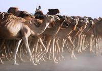Soedan kamelen