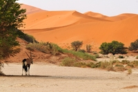 Oryx Sossusvlei Namibie