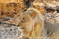 Leeuw Etosha Namibie