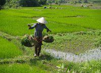 Dame rijstveld Vietnam