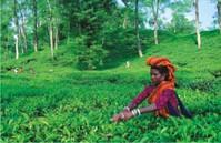Theeplukker Bangladesh