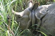 Nepal Chitwan NP neushoorn