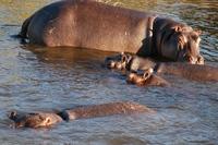 Nijlpaard Namibië