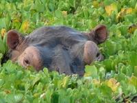 Hippo in het water bij St. Lucia, Zuid-Afrika