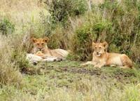Leeuwen in nationaal park Zuid-Afrika