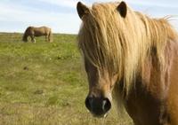Paard IJsland