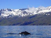 Walvis bergen IJsland
