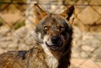 Lobo park wolf family djoser andalusie