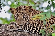 Luipaard van dichtbij in Sri Lanka