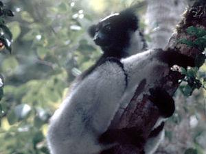 Perinet – Indri Indri