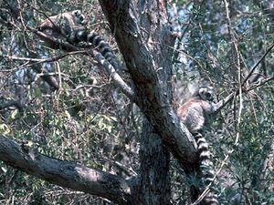 Anja NP – ringstaart lemuren