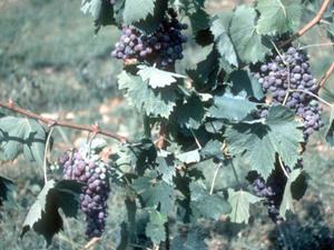 Mazara - wijnranken