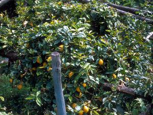 Amalfikust - citroenplantage