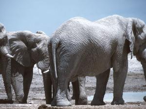 Etosha – olifanten bij een poel