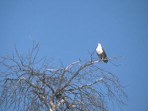 Okavango delta - visarend