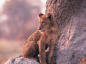 Etosha - leeuwenwelp