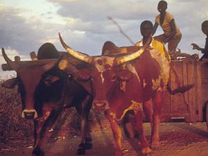 Petauke – jongens met koeienkar