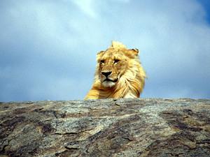 Samburu NP – leeuw