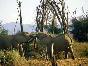Samburu NP – olifanten
