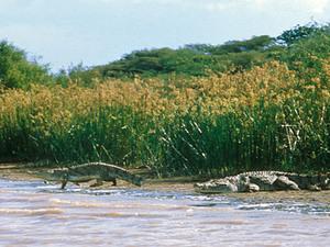 Lake Baringo - krokodillen