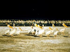 Lake Nakuru – witte pelikanen