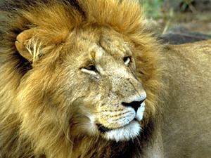 Masai Mara - leeuw