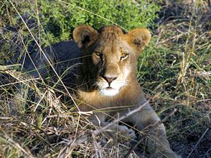 Moremi game reserve - leeuwin