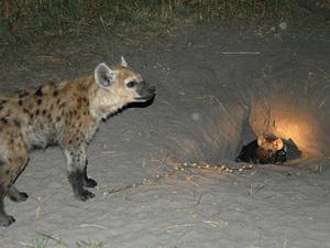 Chobe Nationaal park - hyena