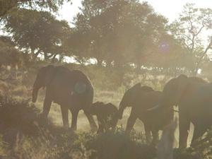 Chobe Nationaal park - olifanten