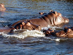 Chobe nationaal park - nijlpaarden